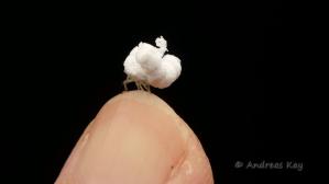Walking Popcorn Flatid Planthopper Nymph