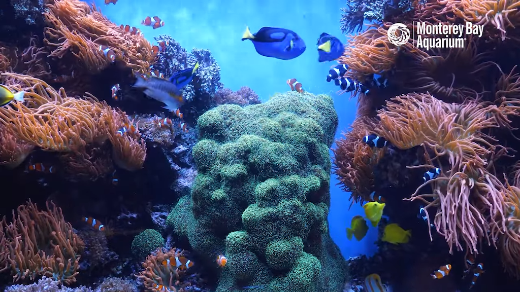 12 Hours Of Tropical Coral Reef Fishes At Monterey Bay Aquarium