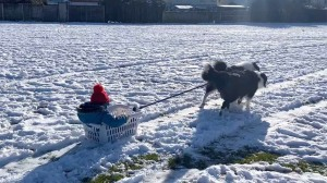 Boy Sleds With Dogs
