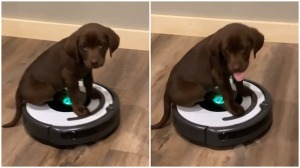 Deke the Puppy Rides a Roomba
