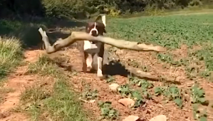 Dog Brings Home Big Sticks