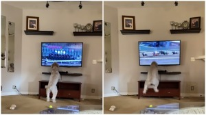 Dog Jumps Up and Down at Horse Race