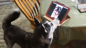 Doggy Best Friends Share a Video Call