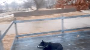 Dog Slides Across Slippery Wooden Porch