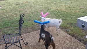 Goat Pool Noodle Battle