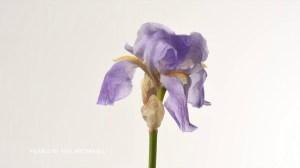 Iris Timelapse