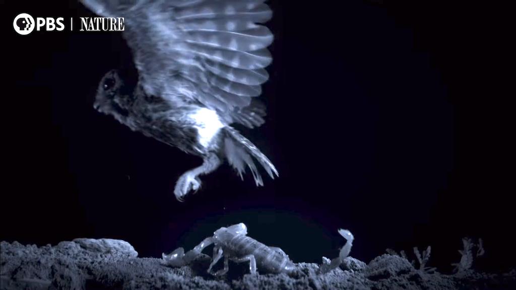 Meet the World's Smallest Owl