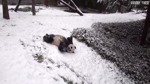 Pandas Playing in Snow