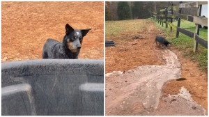 Dog Digs Trench for Spilled Water