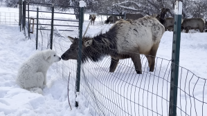 Great Pyrenees Puppy and Elk Exchange