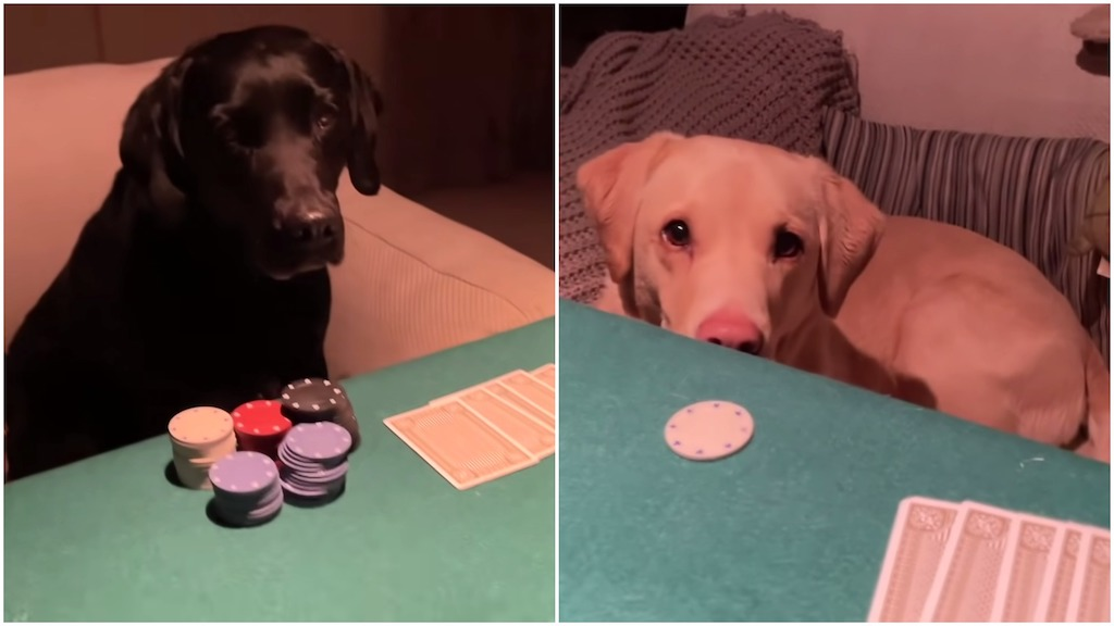 Scottish Sportscaster Teaches His Dogs to Play Poker
