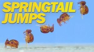 Springtail Jumps