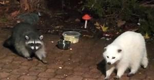White Raccoon