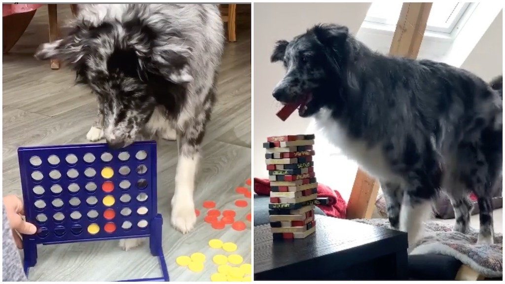 Astute Australian Shepherd Plays Competitive Connect Four and Jenga Games With His Beloved Humans