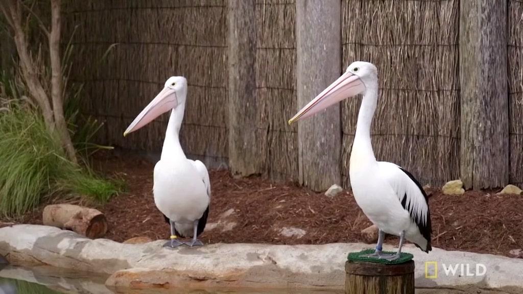 Australian Pelicans Take a Walk