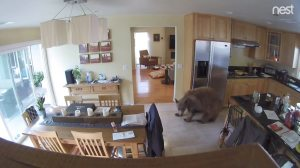 Bear in Mueller Home