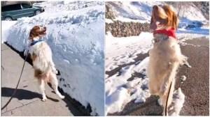 Dog Walks Upright