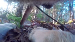 First ever camera collar footage from a wild wolf