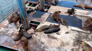 Galapagos Sea Lions Burping Contest