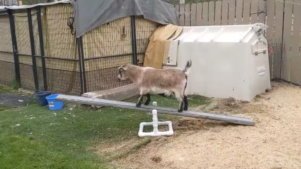 Curious Goat Teaches Himself to Balance On a Seesaw
