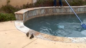 Helping Ducklings Escape Swimming Pool
