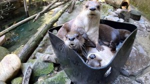 Otters and Ice