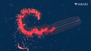 Scarlet Sinophore Monterey Bay