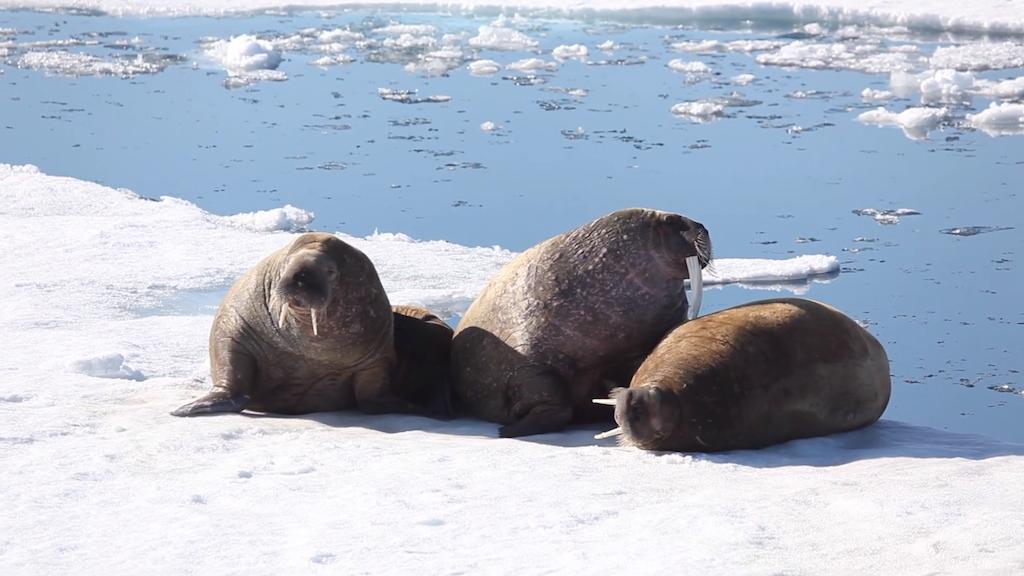 Walruses on Arctic Beach