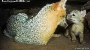 Mother Fox and Pups Underground Den