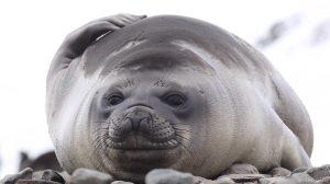 Southern Elephant Seals on Beach