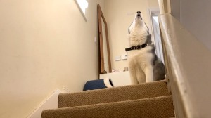 Stubborn Husky Refuses to Come Downstairs
