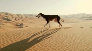 Arabian Saluki Desert Dog Fastest Dog Catch a Gazelle