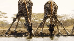 BBC Water Hole Giraffes