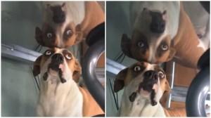 Dog Confused by Reflection Under Desk