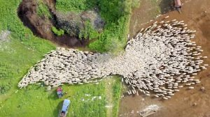 Drone Footage of Sheep Heading to Greener Pastures