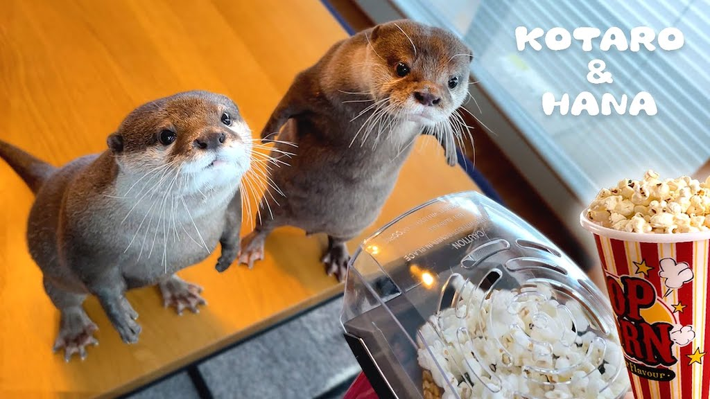 Otters React to Popcorn Popper