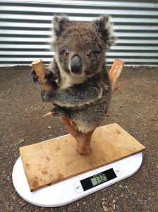 Baby Koala on Scale
