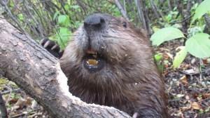 Beaver Chewing Through Fallen Log