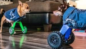 Chihuahuas Without Front Paws Get Wheel Prosthetics