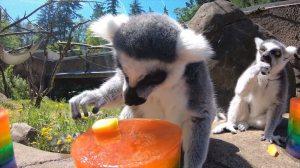 Lemurs of Oregon Zoo Enjoy Frozen Treats