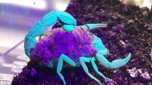 Scorpion Glow Under UV Light