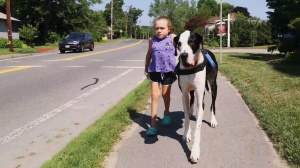 Great Dane Helps Girl Walk