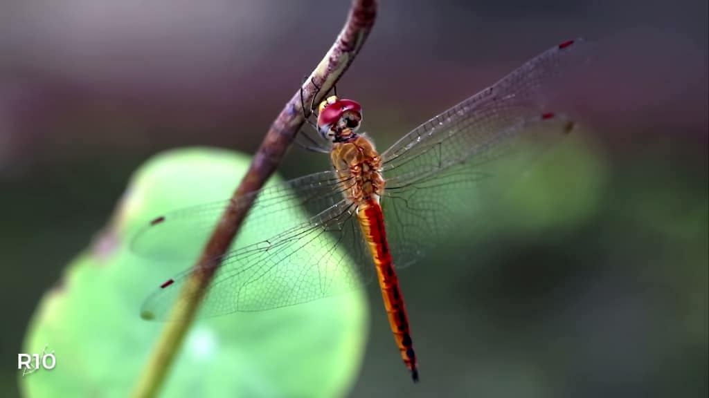 The Remarkable Biology of the Dragonfly