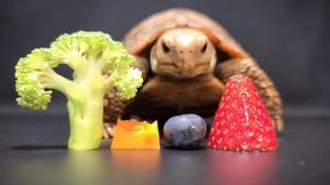 Tortoise Eating Produce