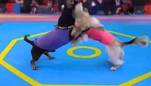 Weiner Dog Wrestling