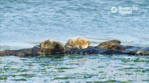 12 Hours Of Sea Otters Sleeping In Monterey Bay Ambient Ocean Sounds