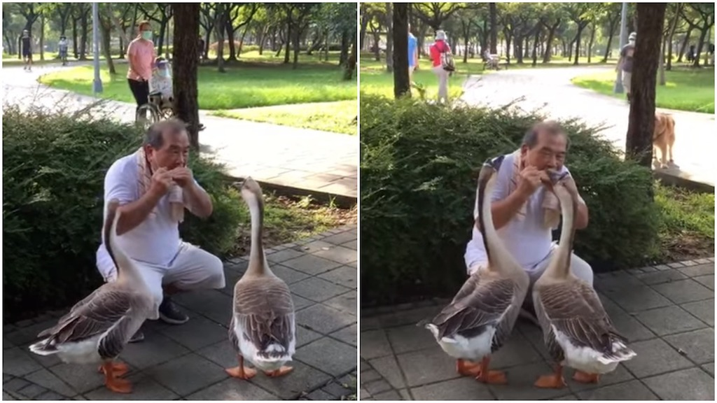 Man Plays Harmonica for Geese