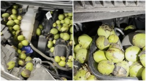Squirrel Fills Car Hood With Walnuts