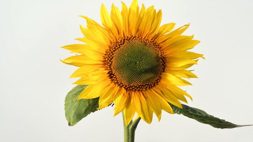 Sunflower 10 Day Timelapse