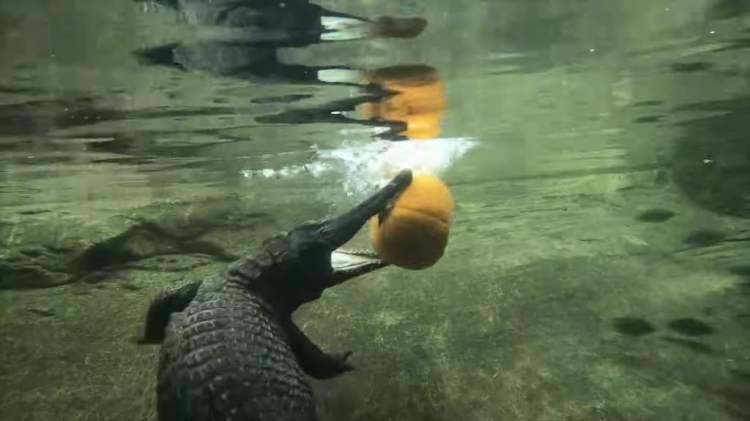Crocodile Eats Pumpkin